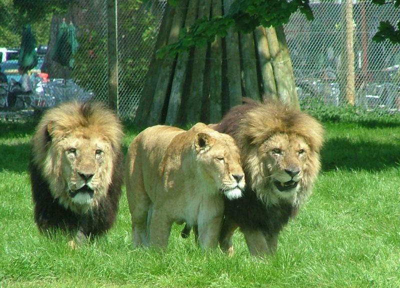 Blair Drummond Safari Park Animals Lions at Blair Drummond Safari