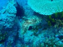 Camouflaged cuttlefish